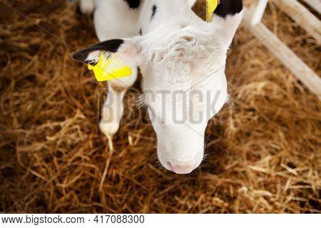 Cute White Calf In A Calf Barn At A Dairy Farm. Calf Head, Close-up, Top View. Milk Production, Agri