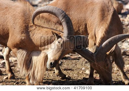 Barbary Sheep, Aoudad, Ramming