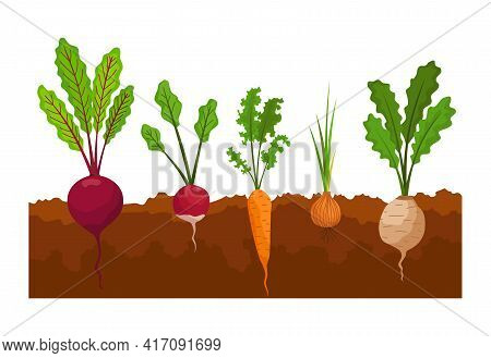 Vegetables Growing In The Ground. Plants Showing Root Structure Below Ground Level. Farm Product For