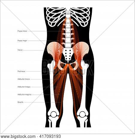 Psoas Muscle And Adductor Magnus. Structure Of Muscular System And Human Skeleton. Man Body Anatomic