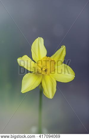 Narcissus - One Yellow Daffodil Spring Flower Daffodil, Close-up Isolated On Gray Background
