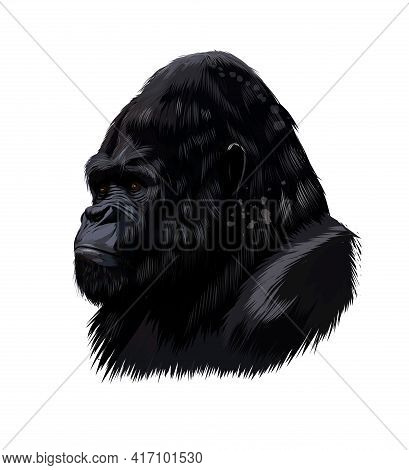 Gorilla Head Portrait From A Splash Of Watercolor, Colored Drawing, Realistic. Vector Illustration O