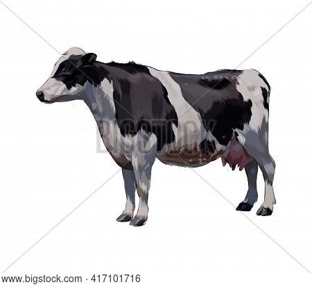 Black And White Cow From A Splash Of Watercolor, Colored Drawing, Realistic. Vector Illustration Of