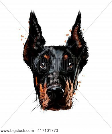 Doberman Head Portrait From A Splash Of Watercolor, Colored Drawing, Realistic. Vector Illustration