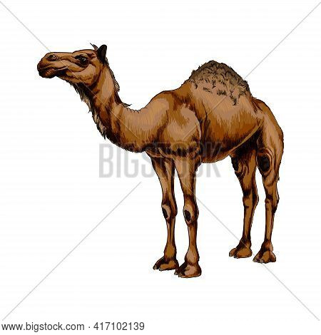 Arabian Camel From A Splash Of Watercolor, Colored Drawing, Realistic. Vector Illustration Of Paints
