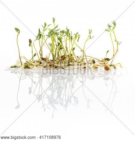 Green lentil sprouts isolated on white, macro food photo. Sprouting French green lentils, also called Puy lentils. Green seedlings and young plants of Lens esculenta puyensis, a healthy microgreen.