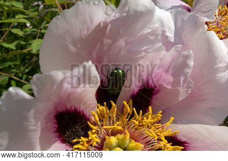 A Green Shiny May Bug Came Down And Hid In A Pink Open Blooming Beautiful Pink Peony With Maroon Var