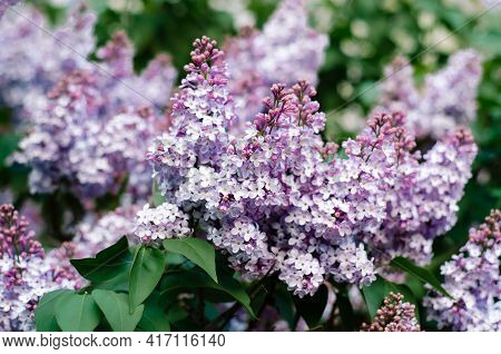 Beautiful Blooming Lilac Branches. Many Small Flowers Of Delicate Lilac Color. Garden Ornamental Pla