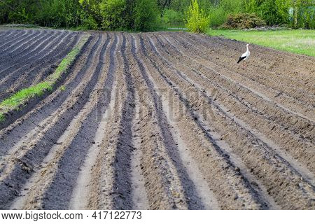 Freshly Plowed Field With Stork In Spring. Farmland. A Close-up Of Furrows In A Freshly Plowed Field