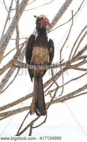 Hornbill With Orange Beak Perched In Tree