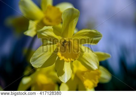 Narcissus - Yellow Daffodil Spring Flower Daffodil, Close-up In The Garden, Nature Blue Background