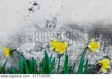 Narcissus - Flowers Yellow Daffodil Spring Flower Daffodil, Close-up Isolated On Concrete Wall Backg