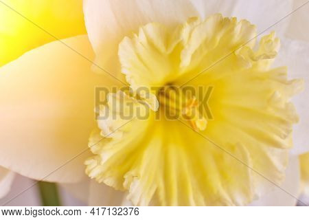 White And Yellow Narcissus Trumpet, Daffodil Macro