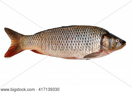 Freshly Caught Raw River Carp Fish Isolated On White Background.