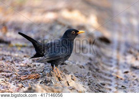 Common Europe Bird Blackbird, Turdus Merula, Perched On Tree. Czech Republic, Europe Wildlife