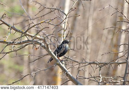 An Ordinary Starling Bird Stands On A Branch.