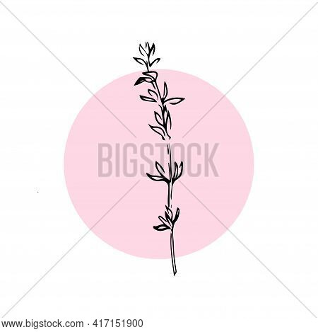 Thyme Hand Drawn Illustration Isolated On White Background