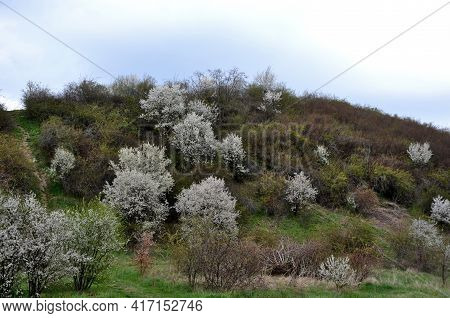 Blackberries And Forsythia Grow On The Flowering Hill. Beautiful Combination Of Yellow And White Col