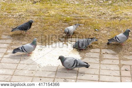 A Flock Of Pigeons Feeds On Grain In A Public Feeding Area. In The Daytime On The Street.