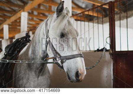 White Horse In The Stable. Equestrian Sports Training.