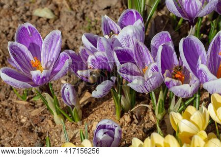 Bumblebees And Bees Pollinate Crocus Flowers In Early Spring.