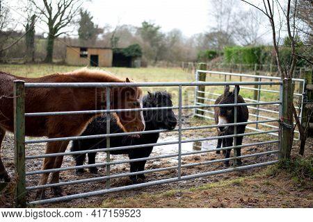 A Horse, Shetland Pony And Donkey Wait Near A Metal Gate In A Field