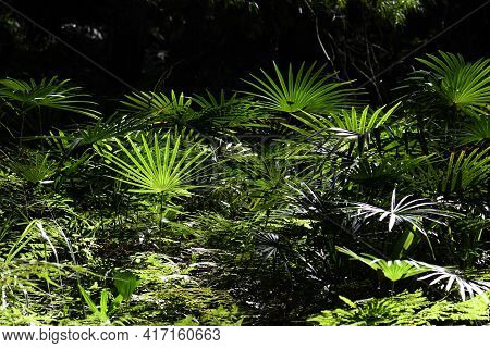 Nature Background Of Sunlight On A Temperate Rainforest Understory Of Ferns And Cabbage Tree Palms,