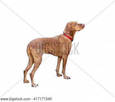 Hungarian Shorthaired Pointing Dog Vizsla Isolated On White.