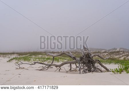Dead Tree In The Sand Dunes With Foggy Background Along The Gulf Of Mexico In Gulf Shores, Alabama,