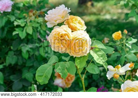 Inflorescence Of Yellow-cream Roses Of The Graham Thomas Variety Growing On A Stem In A Flower-bed I