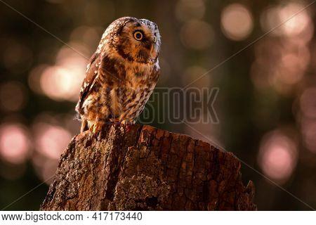 The Boreal Owl Or Tengmalm's Owl (aegolius Funereus) Is A Small Owl.