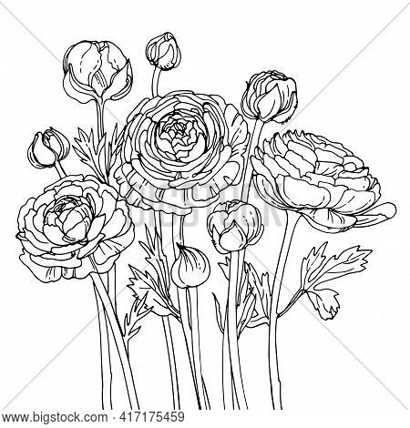 Ranunculus. Flowers Drawn By A Line On A White Background. Vector Sketch Of Garden Flowers