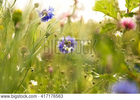 Background With Summer Blooming Colorful Meadow. Blue, Pink, White Flowers And Grass.
