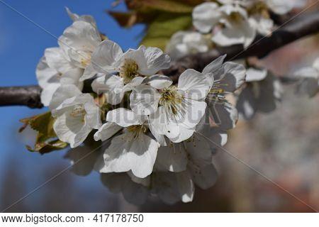 Spring Background, Blossom, Bokeh. Close Up Of The Spring Cherry Flowers. Sakura Petals. Spring Wood