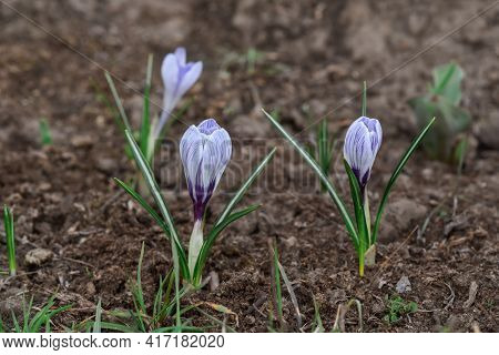 Crocuses Are Very Easy To Care For. The Height Of These Flowers Depends On How Much Moisture They Ge