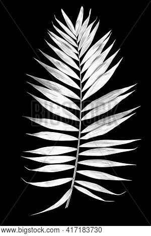Tropical Leaf Of Palm Tree Isolated On A Balck Background. Image Digitally Modified With Sollarizati