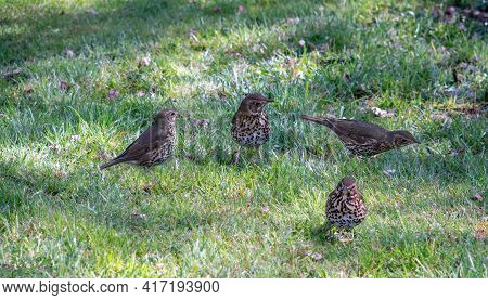 Four Song Thrush Birds On The Grass In Spring In The Park. Song Thrush Is A Thrush That Breeds Acros