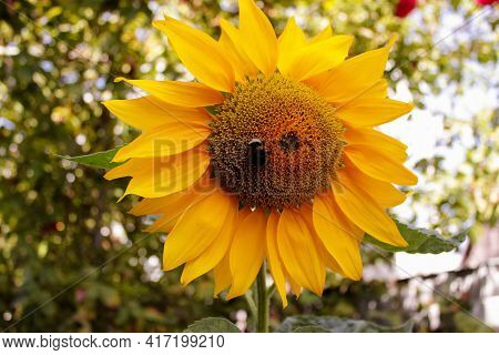 A Sunflower Bee Walks Around The Outer Edge Of The Green Disk Floret Of A Sunflower's Bright Yellow