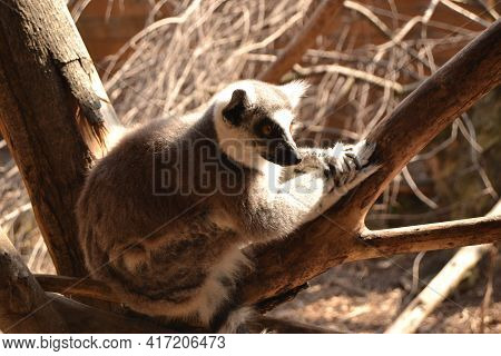 Portrait Of Ring Tailed Lemur Sitting On A Tree In The Zoo