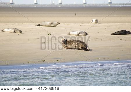 Seals And Porpoises Living In The Shallows In The Netherlands. Fur Seal Safari, Shallows In Oostersc