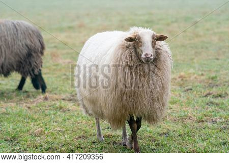 Two Sheep In The Mist. One Sheep Look At Camera, Detail Shot. Sheep Feed On Spring Grass. Search For