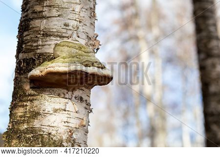 Tinder Fungus On A Birch. Birch Tinder Fungus On A Tree Trunk. The Fungus Is A Parasite. Close-up. H
