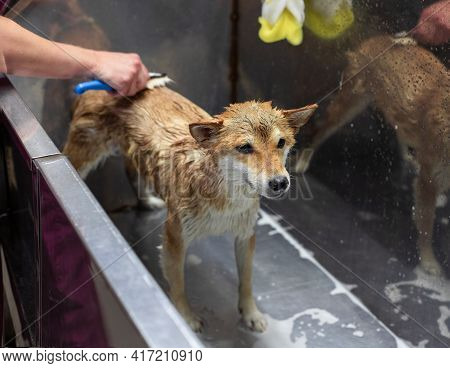 Shiba Inu Dog In The Groomer Salon. Groomers Hands Comb Out Unwanted Fur. Sad Dog That Doesnt Like T