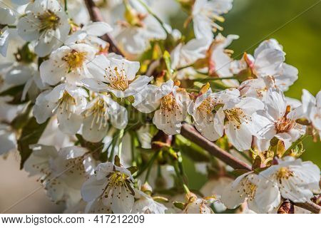 Branch Of An Apple Tree Malus Domestica In Springtime In Sunshine. Apple Blossom With White Blossom