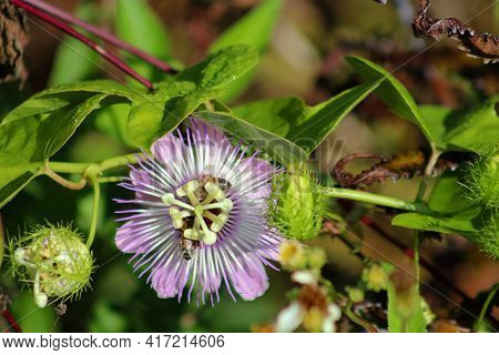 Passionflower Growing In The Wild