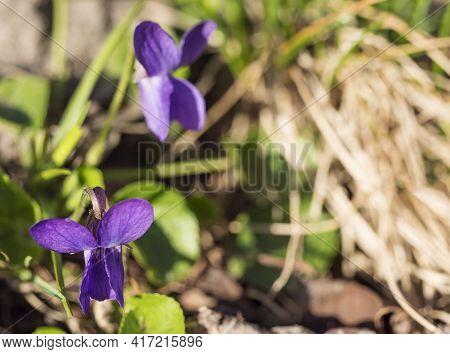 Close Up Macro Beatiful Blooming Violet Flower , Viola Odorata Or Wood Violet, Sweet Violet With Gre