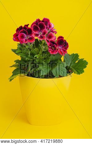 Flower Pot With Blooming Beautiful Pink Pelargonium.