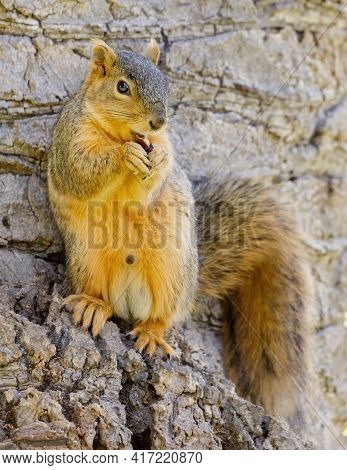 Eastern Gray Squirrel Standing On Its Hind Legs And Snacking. Santa Clara County, California, Usa.