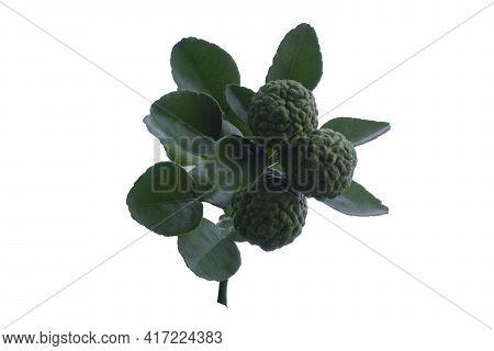 Freshness Bergamot Or Kaffir Lime Fruit With Green Leaf Isolated On White Background.
