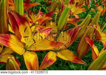 Red-yellow Daylilies (latin: Hemerocallis) Close Up. Selective Focus.